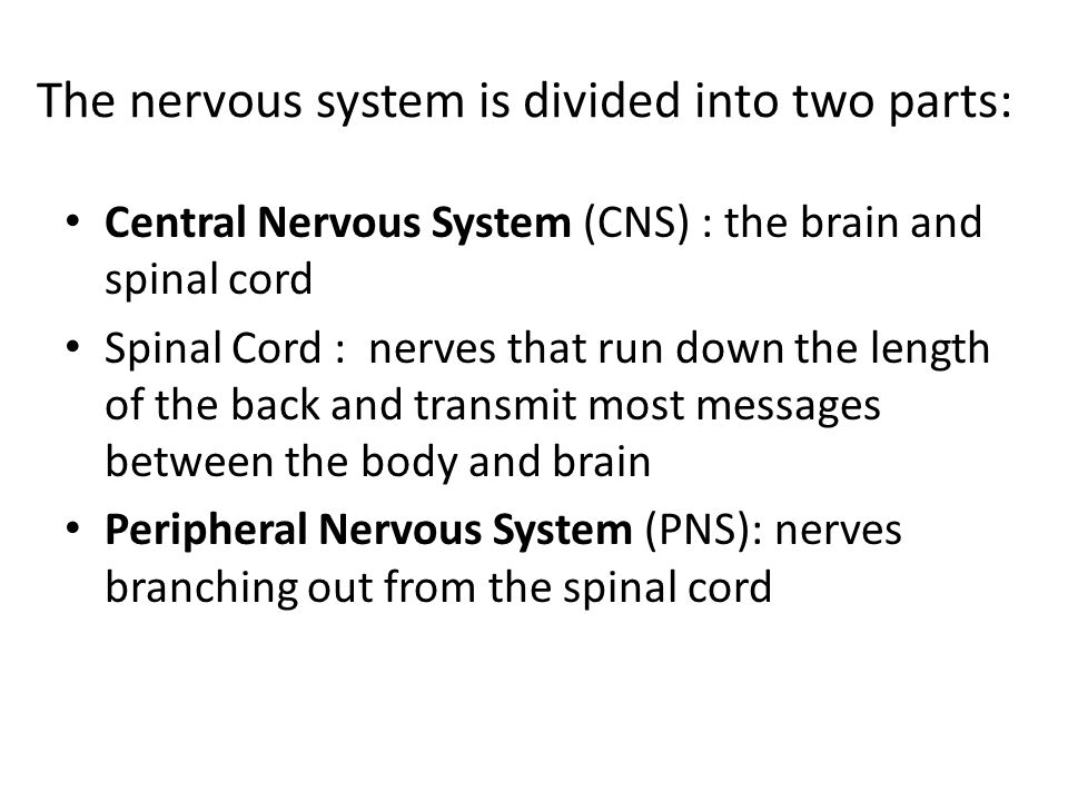The nervous system is divided into two parts: Central Nervous System (CNS) : the brain and spinal cord Spinal Cord : nerves that run down the length of the back and transmit most messages between the body and brain Peripheral Nervous System (PNS): nerves branching out from the spinal cord