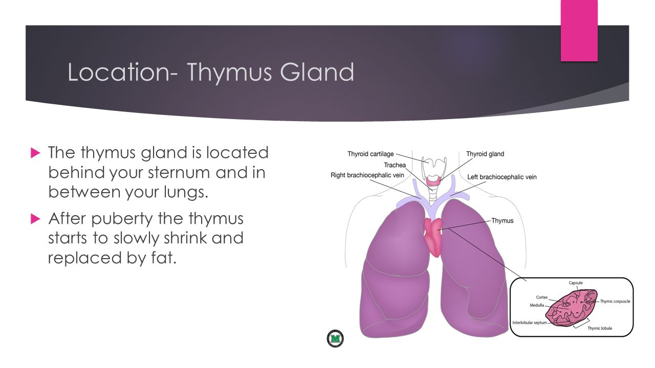 Thymus Gland Hypothalamus Gland Dina Christopoulos Raegan Kobbe