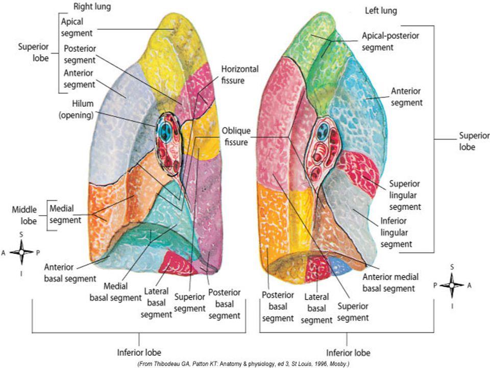 Lower Airway Larynx Tracheobronchial Tree (TB Tree) Trachea Bronchi ...