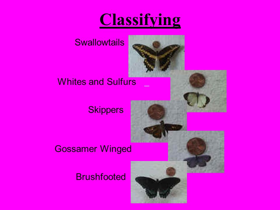 Classifying Swallowtails Whites and Sulfurs Skippers Gossamer Winged Brushfooted