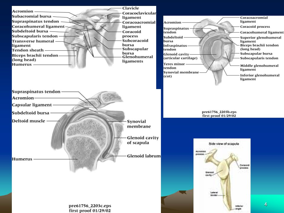 1 The Shoulder Pe 236 Juan Cuevas Atc 2 Anatomy Review Shoulder