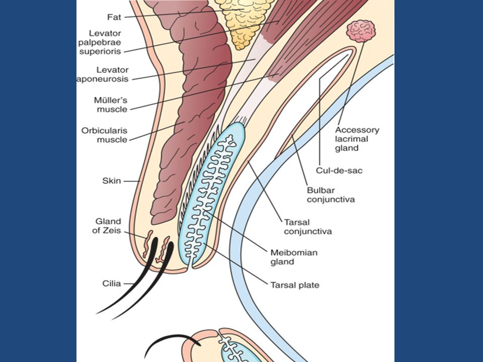 Review of clinical anatomy & physiology of the eyelids & common ...