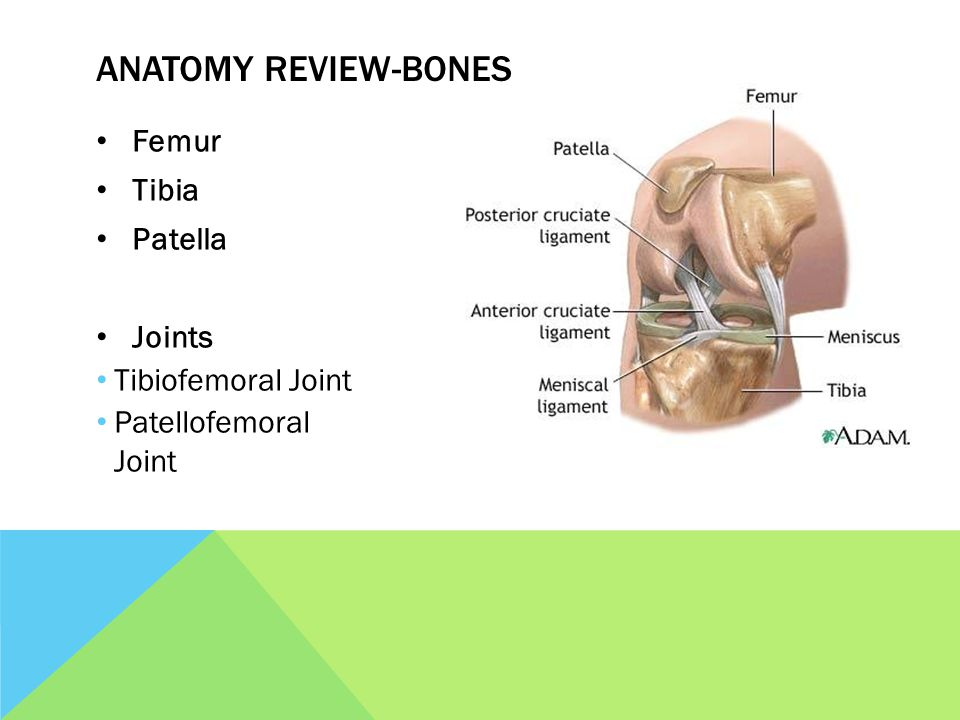 Evaluation The Knee Ms Bowman Anatomy Review Bones Femur Tibia