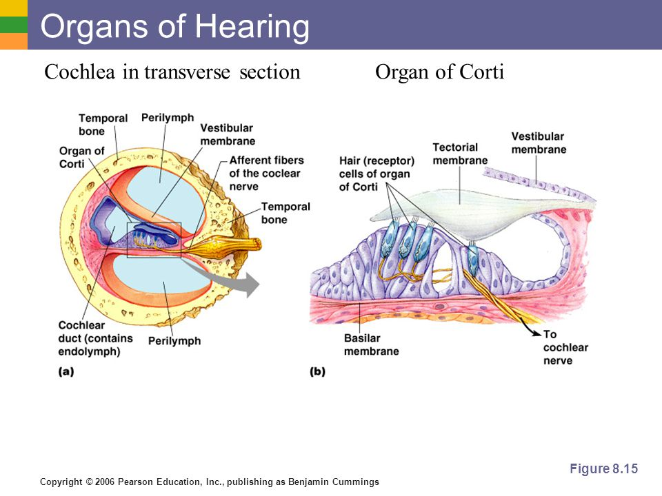 Copyright © 2006 Pearson Education, Inc., publishing as Benjamin Cummings Organs of Hearing Figure 8.15 Cochlea in transverse sectionOrgan of Corti