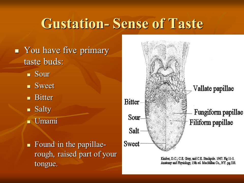 Gustation- Sense of Taste You have five primary taste buds: You have five primary taste buds: Sour Sour Sweet Sweet Bitter Bitter Salty Salty Umami Umami Found in the papillae- rough, raised part of your tongue.