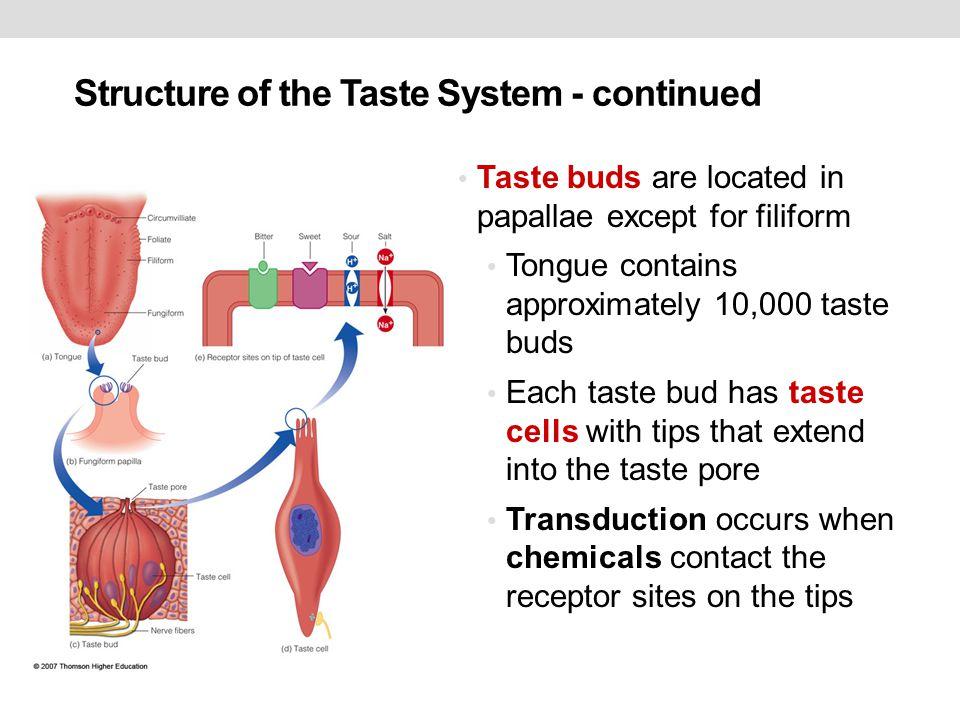 Chemical Senses Taste And Smell 1 Taste Bud Receptors Ppt Download