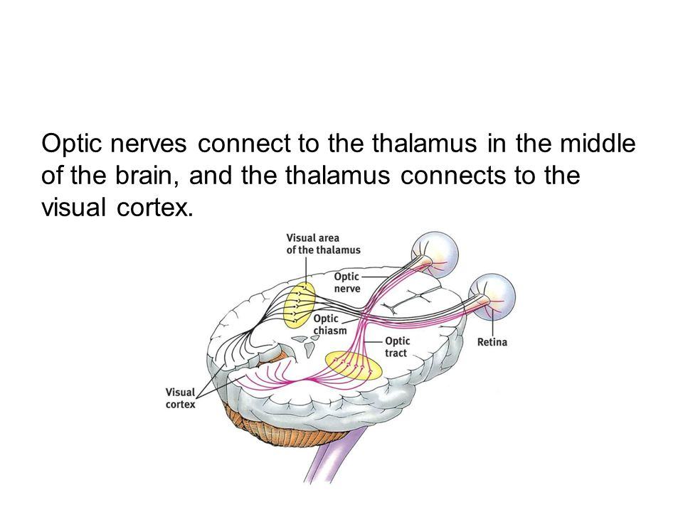 Optic nerves connect to the thalamus in the middle of the brain, and the thalamus connects to the visual cortex.