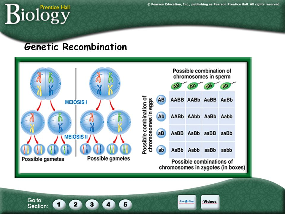 Go to Section: Genetic Recombination