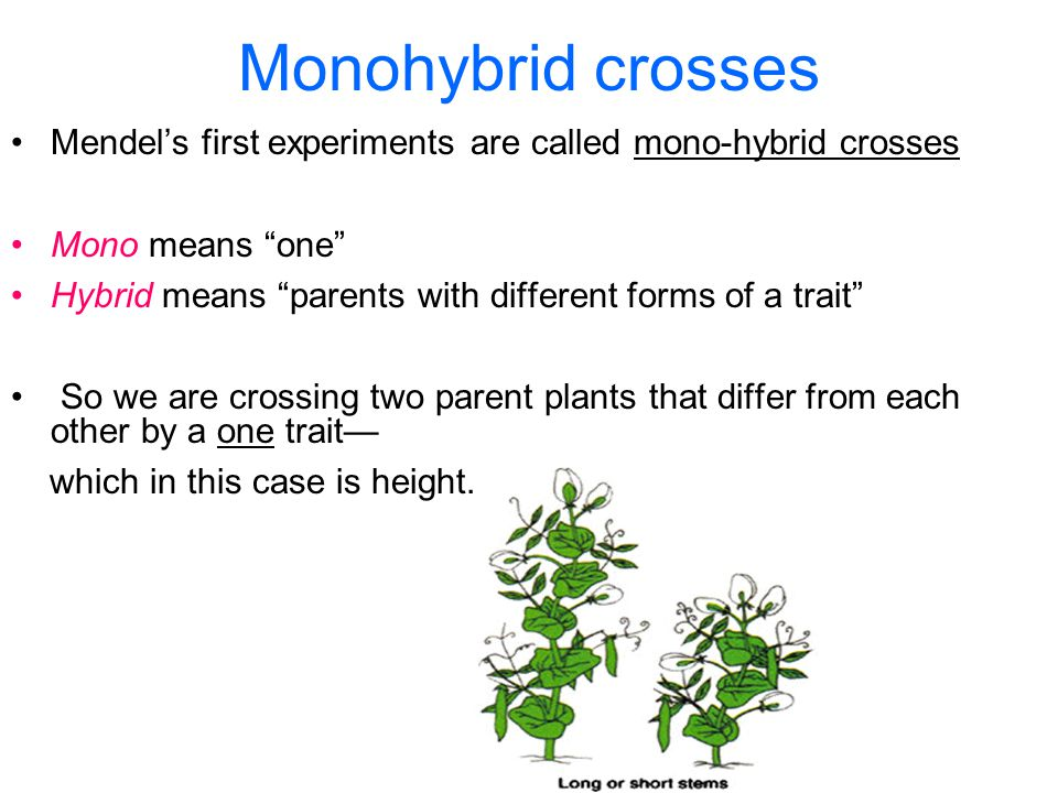 Monohybrid crosses Mendel's first experiments are called mono-hybrid crosses Mono means one Hybrid means parents with different forms of a trait So we are crossing two parent plants that differ from each other by a one trait— which in this case is height.
