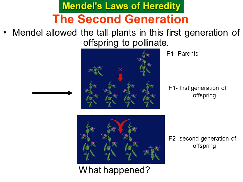 Section 10.1 Summary – pages Mendel allowed the tall plants in this first generation of offspring to pollinate.
