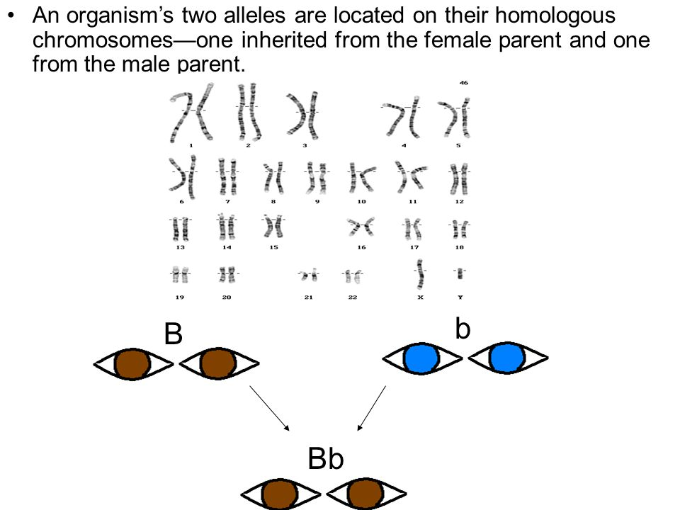 Section 10.1 Summary – pages An organism's two alleles are located on their homologous chromosomes—one inherited from the female parent and one from the male parent.