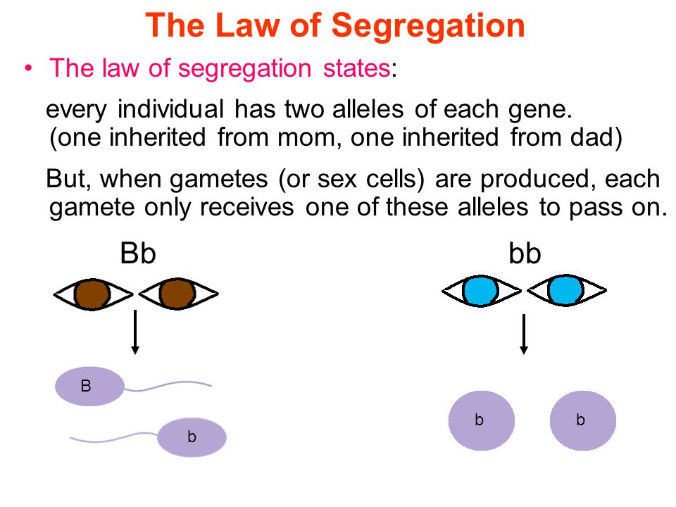 Section 10.1 Summary – pages The law of segregation states: every individual has two alleles of each gene.