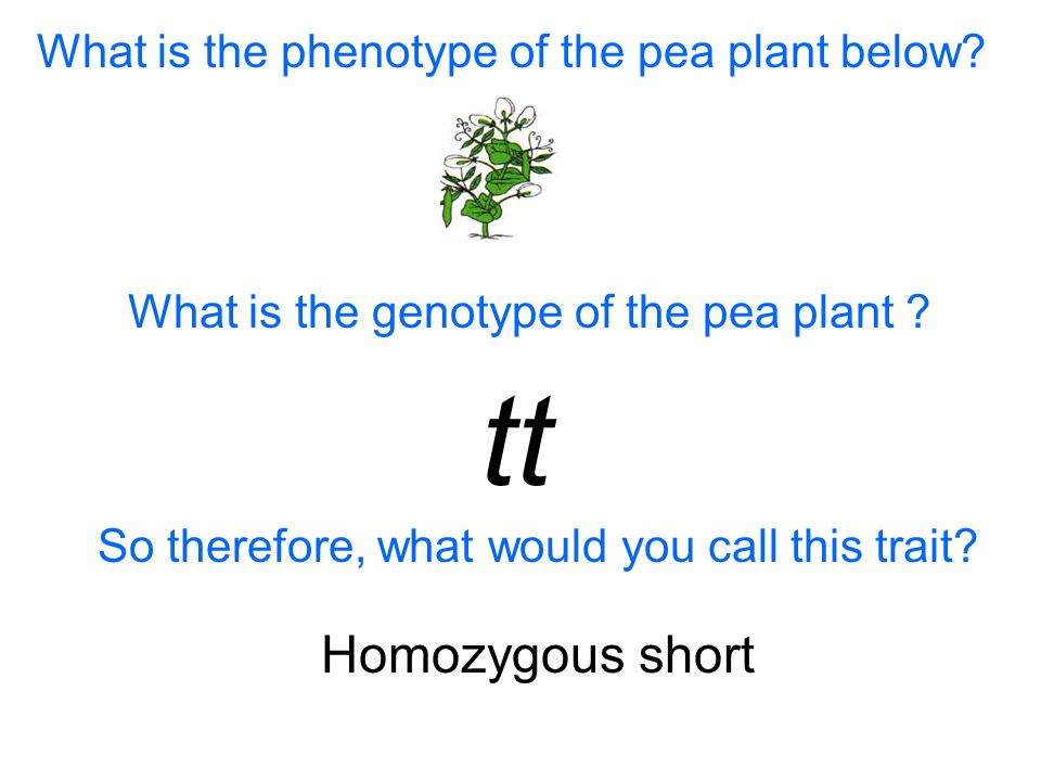 What is the phenotype of the pea plant below. What is the genotype of the pea plant .