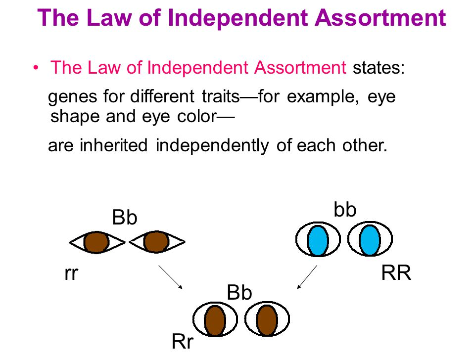 Section 10.1 Summary – pages The Law of Independent Assortment states: genes for different traits—for example, eye shape and eye color— are inherited independently of each other.