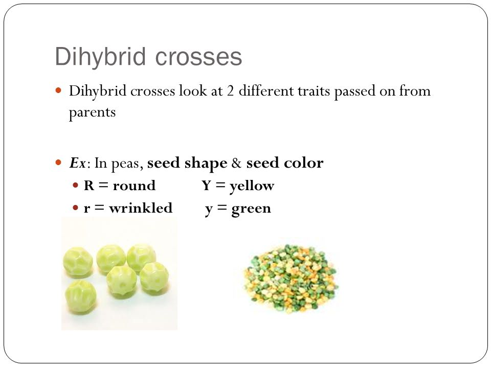 Dihybrid crosses Dihybrid crosses look at 2 different traits passed on from parents Ex: In peas, seed shape & seed color R = roundY = yellow r = wrinkled y = green