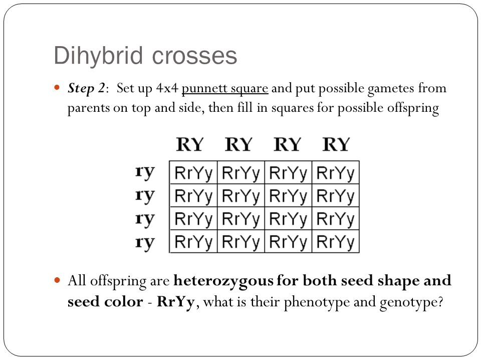 Dihybrid crosses Step 2: Set up 4x4 punnett square and put possible gametes from parents on top and side, then fill in squares for possible offspring All offspring are heterozygous for both seed shape and seed color - RrYy, what is their phenotype and genotype