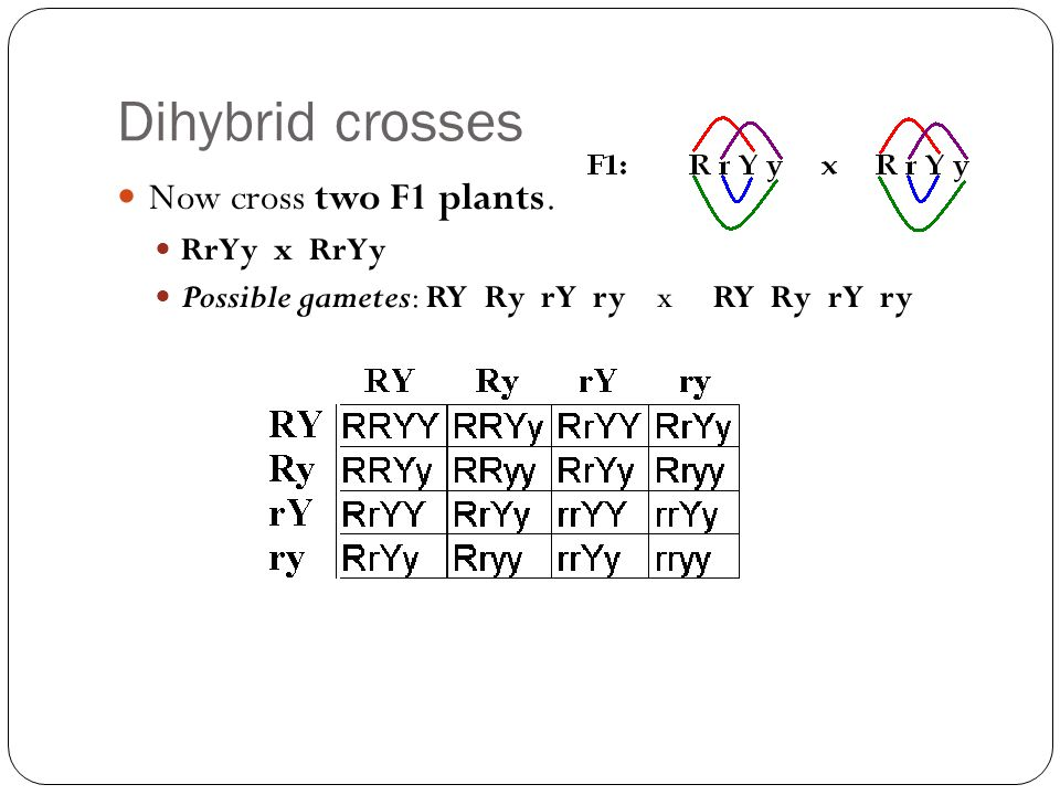 Dihybrid crosses Now cross two F1 plants. RrYy x RrYy Possible gametes: RY Ry rY ry x RY Ry rY ry