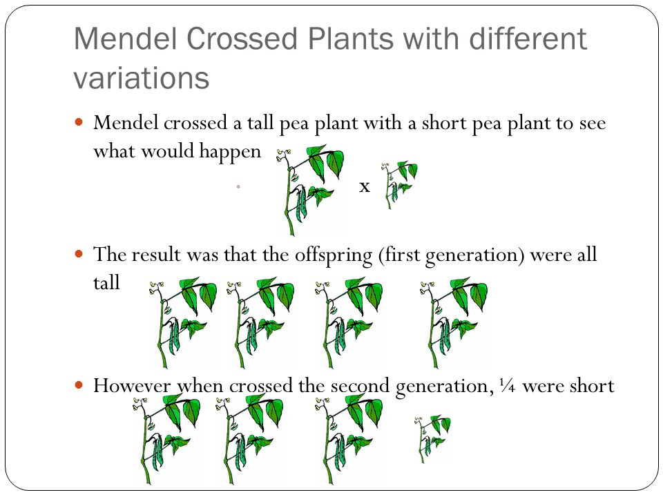 Mendel Crossed Plants with different variations Mendel crossed a tall pea plant with a short pea plant to see what would happen x The result was that the offspring (first generation) were all tall However when crossed the second generation, ¼ were short