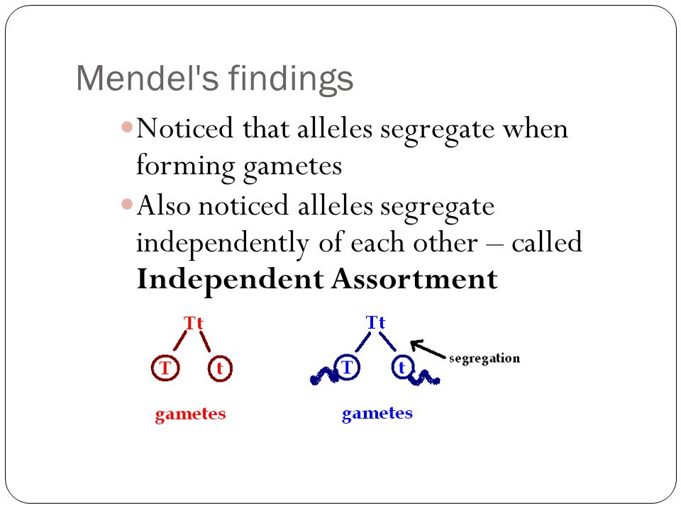 Mendel s findings Noticed that alleles segregate when forming gametes Also noticed alleles segregate independently of each other – called Independent Assortment