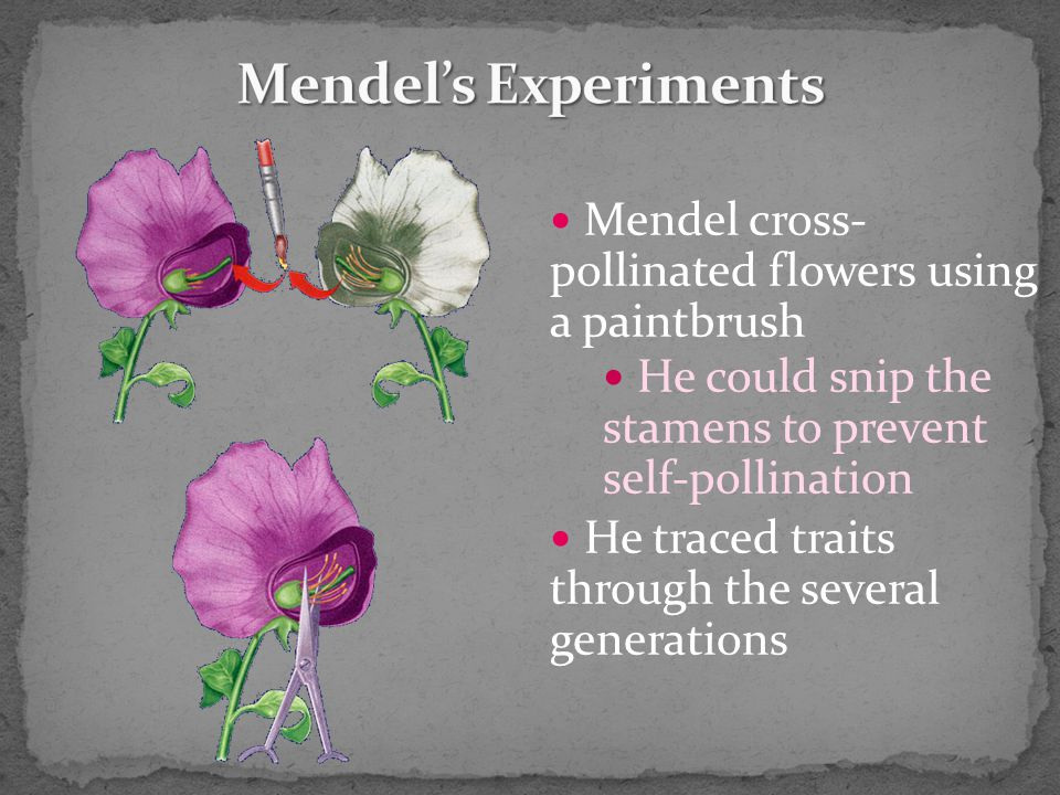 Mendel cross- pollinated flowers using a paintbrush He could snip the stamens to prevent self-pollination He traced traits through the several generations