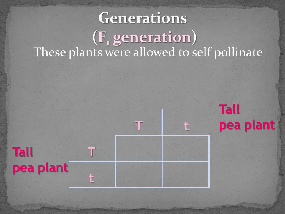 These plants were allowed to self pollinate Tt T t Tall pea plant Tall