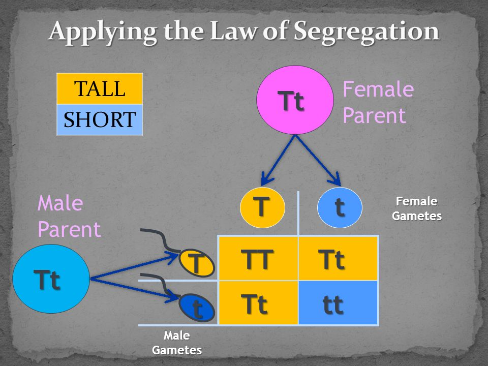 TALL SHORT Tt Tt Tt TtTT tt T T t t Female Parent Male Parent Male Gametes Female Gametes