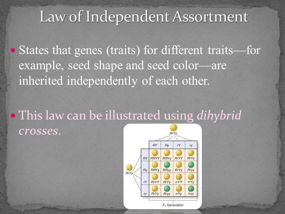States that genes (traits) for different traits—for example, seed shape and seed color—are inherited independently of each other.
