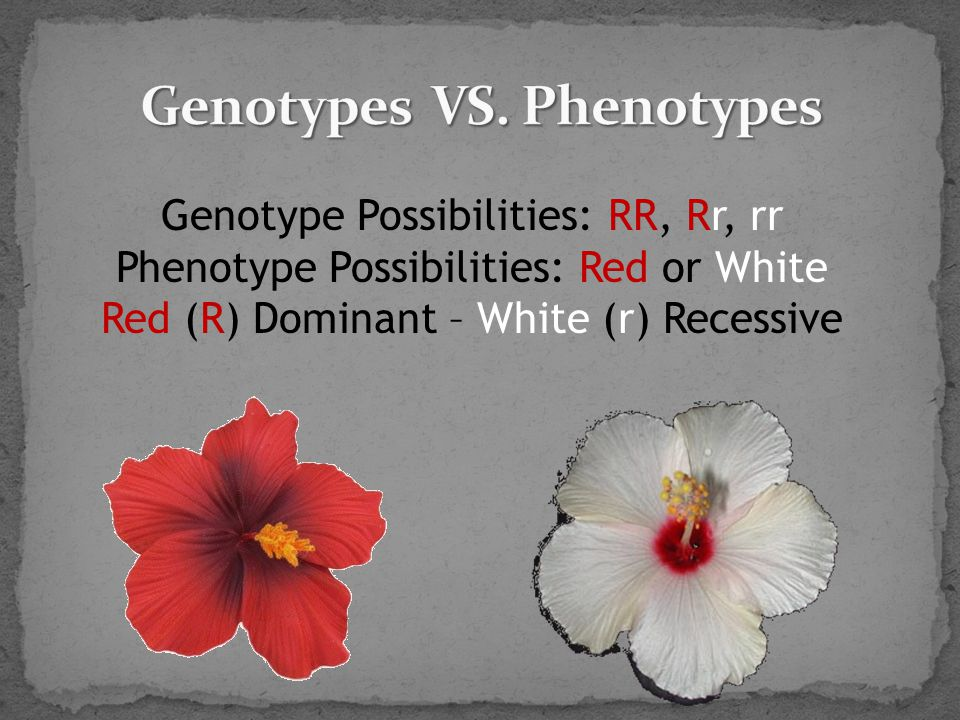 Genotype Possibilities: RR, Rr, rr Phenotype Possibilities: Red or White Red (R) Dominant – White (r) Recessive