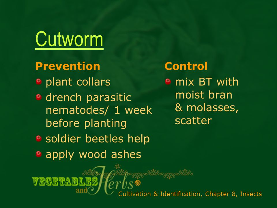 Cultivation & Identification, Chapter 8, Insects Cutworm Prevention plant collars drench parasitic nematodes/ 1 week before planting soldier beetles help apply wood ashes Control mix BT with moist bran & molasses, scatter