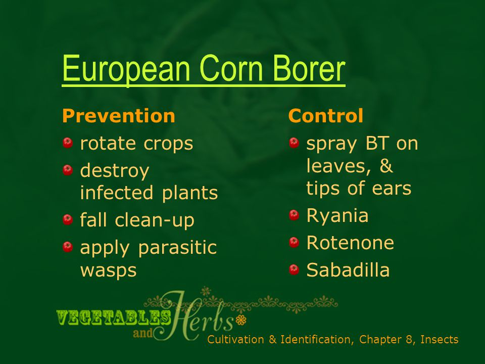 Cultivation & Identification, Chapter 8, Insects European Corn Borer Prevention rotate crops destroy infected plants fall clean-up apply parasitic wasps Control spray BT on leaves, & tips of ears Ryania Rotenone Sabadilla