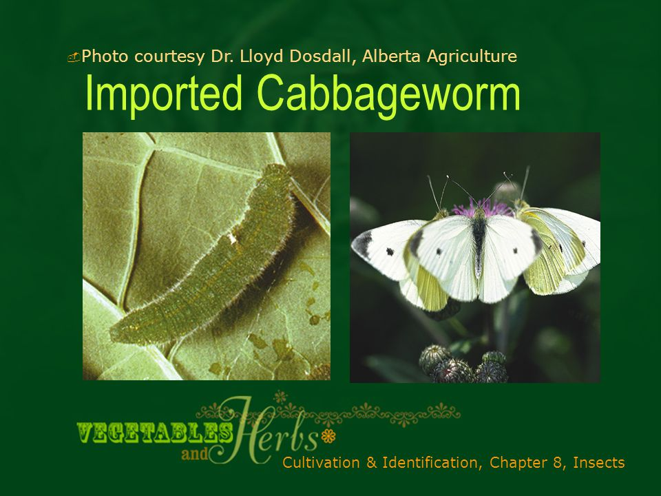 Cultivation & Identification, Chapter 8, Insects Imported Cabbageworm  Photo courtesy Dr.