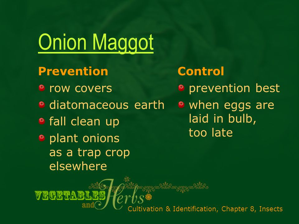 Cultivation & Identification, Chapter 8, Insects Onion Maggot Prevention row covers diatomaceous earth fall clean up plant onions as a trap crop elsewhere Control prevention best when eggs are laid in bulb, too late