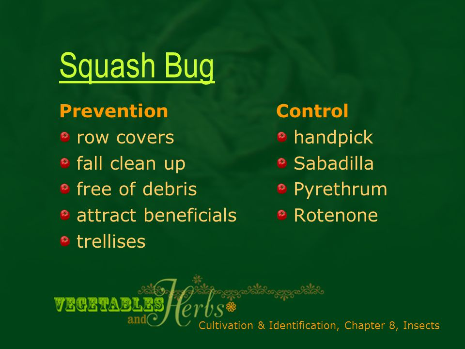 Cultivation & Identification, Chapter 8, Insects Squash Bug Prevention row covers fall clean up free of debris attract beneficials trellises Control handpick Sabadilla Pyrethrum Rotenone