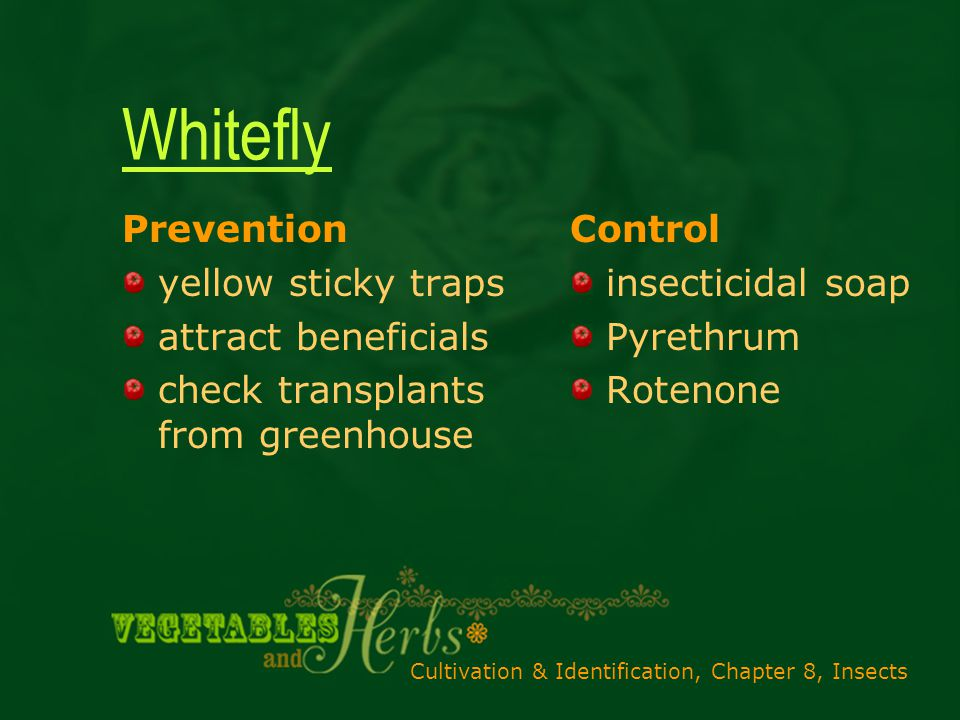 Cultivation & Identification, Chapter 8, Insects Whitefly Prevention yellow sticky traps attract beneficials check transplants from greenhouse Control insecticidal soap Pyrethrum Rotenone