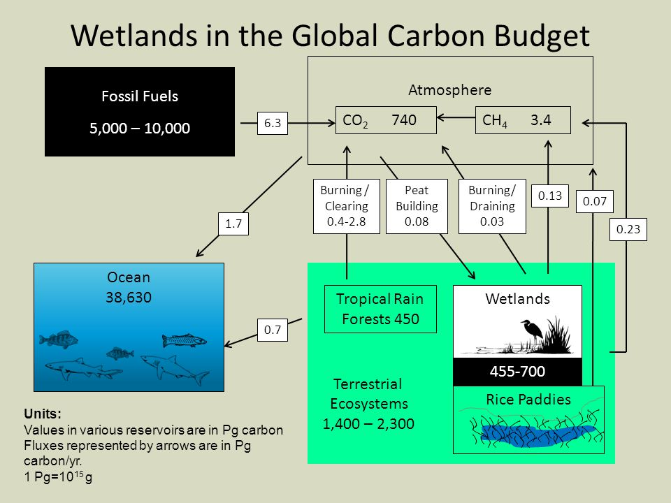 Fossil Fuels 5,000 – 10,000 Ocean 38,630 Terrestrial Ecosystems 1,400 – 2,300 Atmosphere CO 2 740CH Tropical Rain Forests 450 Wetlands Rice Paddies Burning / Clearing Wetlands in the Global Carbon Budget Peat Building 0.08 Burning/ Draining Units: Values in various reservoirs are in Pg carbon Fluxes represented by arrows are in Pg carbon/yr.