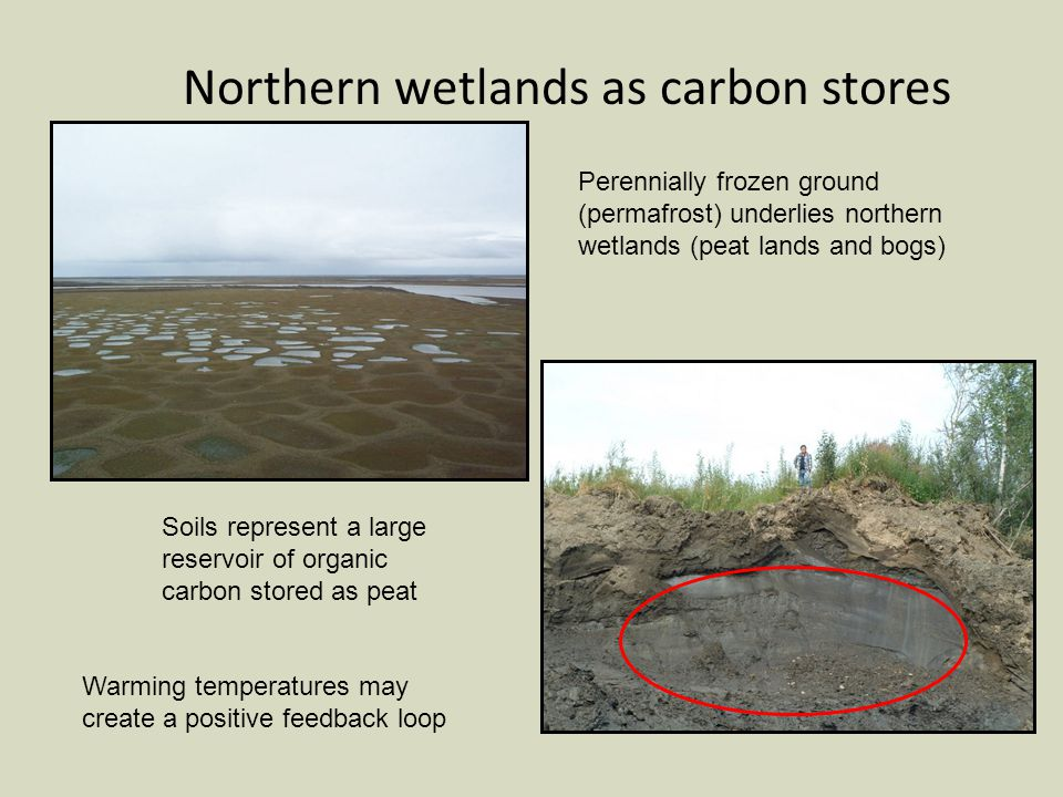 Northern wetlands as carbon stores Perennially frozen ground (permafrost) underlies northern wetlands (peat lands and bogs) Soils represent a large reservoir of organic carbon stored as peat Warming temperatures may create a positive feedback loop