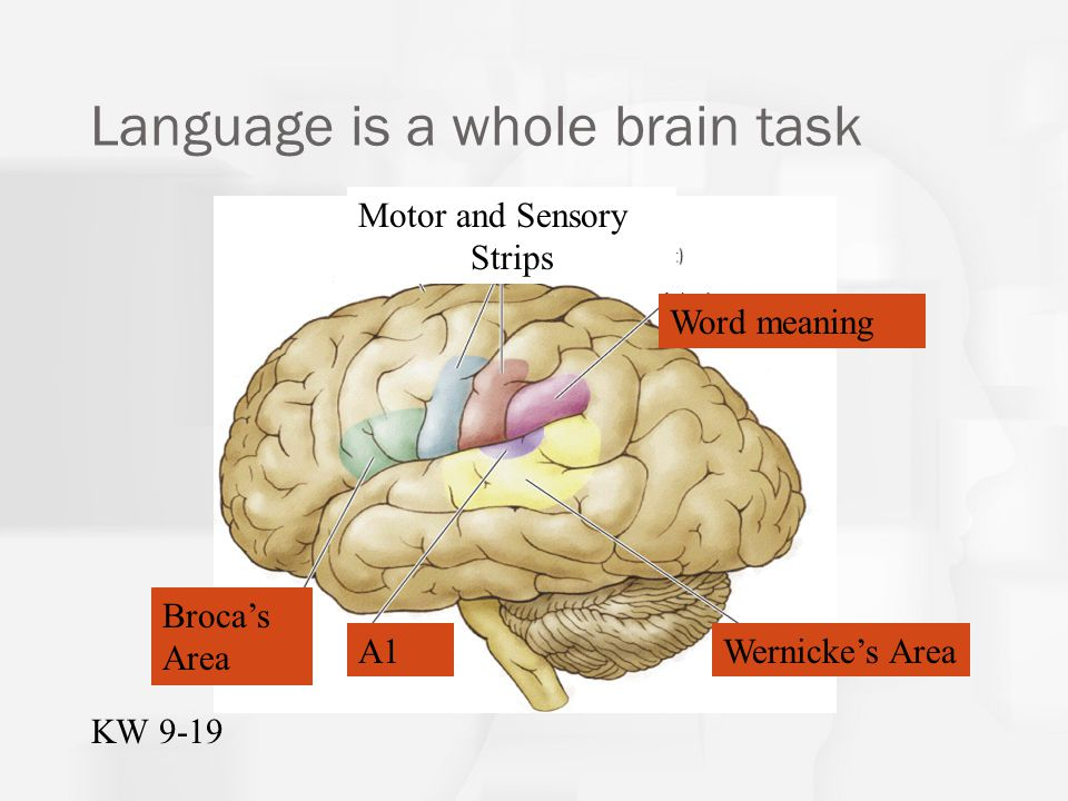 Broca's and Wernicke's areas were identified in early research as being specialized for language production and comprehension.