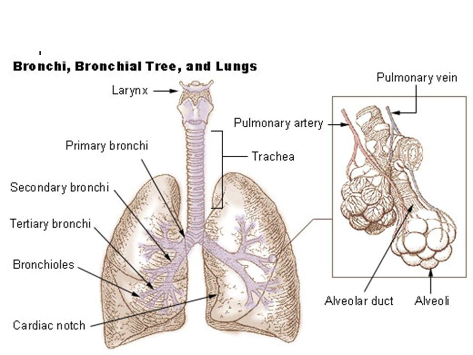 Respiratory System Chapter # ppt video online download