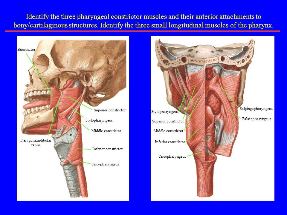 Sternocleidomastoid Trapezius Posterior Cervical Triangle Identify