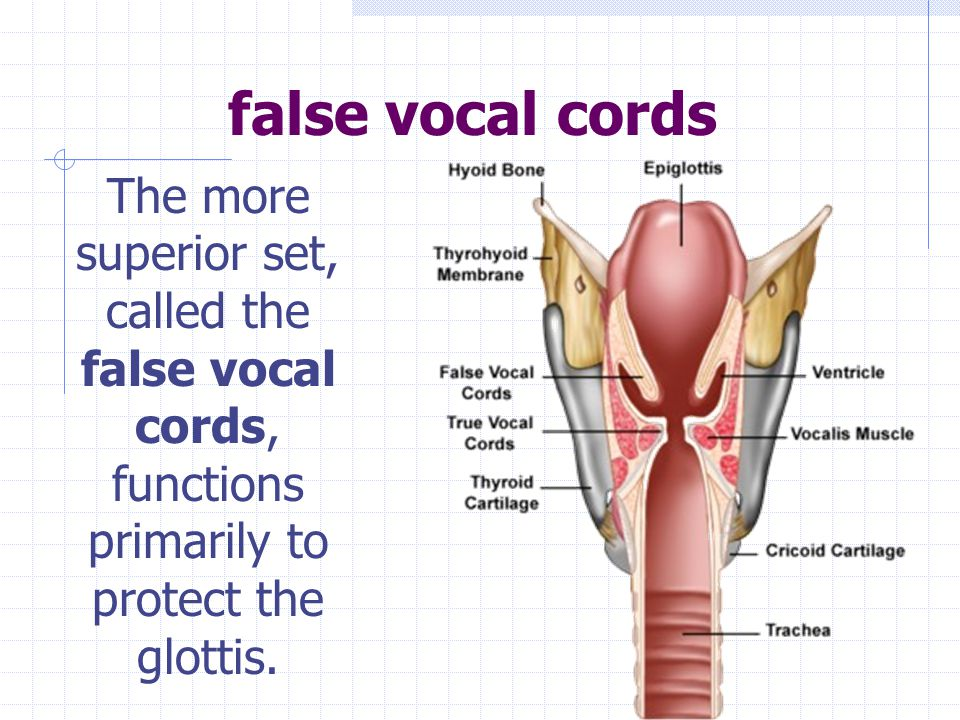 vocal chords (or folds) a pair of membrane folds in the larynx