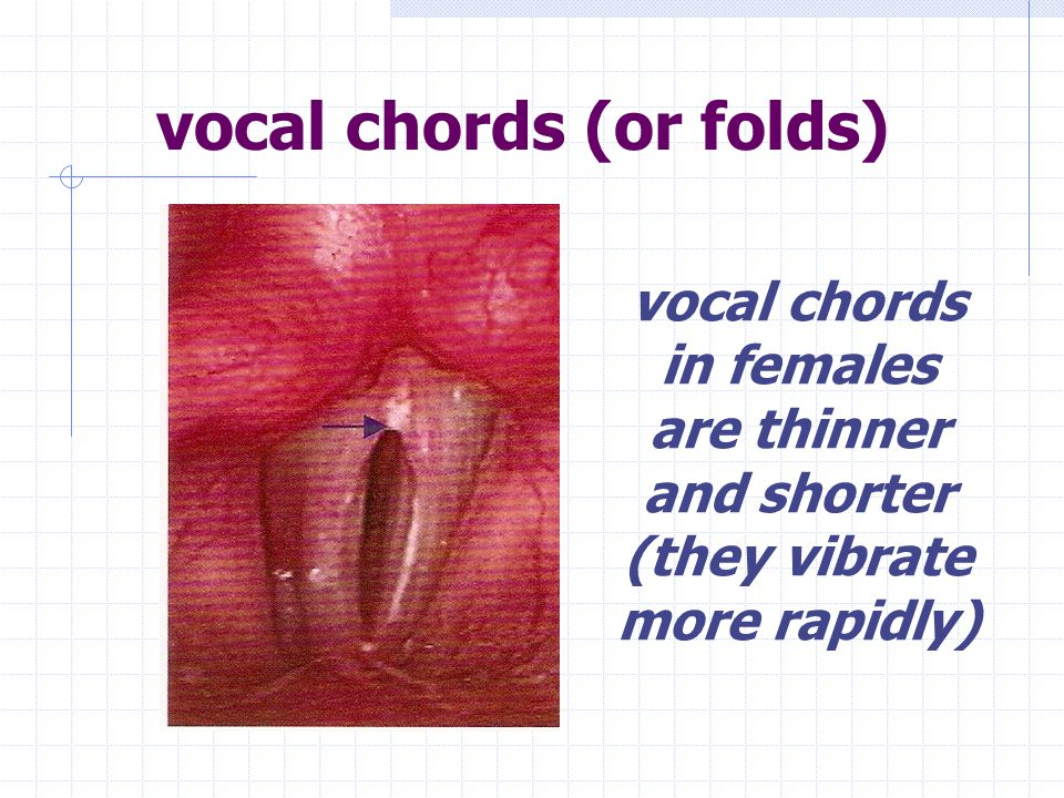 true vocal cords The inferior set, the true vocal cords, produces the voice.