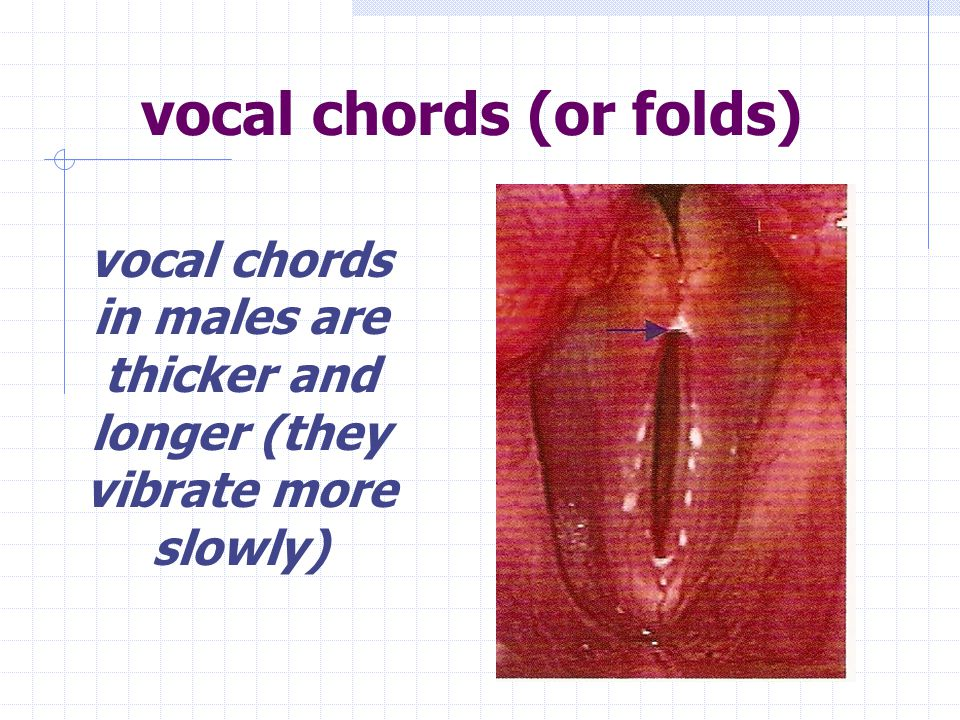 vocal chords (or folds) vocal chords in females are thinner and shorter (they vibrate more rapidly)