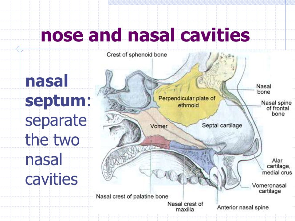 STRUCTURES OF THE RESPIRATORY SYSTEM nose and nasal cavities pharynx larynx trachea bronchi bronchioles alveoli