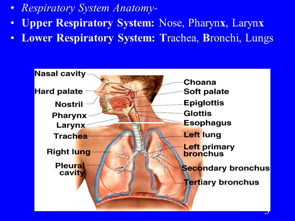 1 Respiratory System. 2 Tale of Two Gases RESPIRATION is Simple- in ...