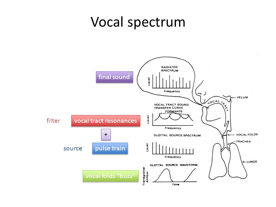 PHYS 103 lecture 29 voice acoustics. Vocal anatomy Air flow through ...