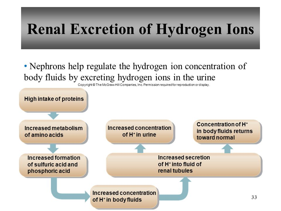 33 Nephrons help regulate the hydrogen ion concentration of body fluids by excreting hydrogen ions in the urine Renal Excretion of Hydrogen Ions Copyright © The McGraw-Hill Companies, Inc.