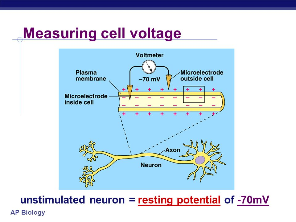 AP Biology Cells have voltage.