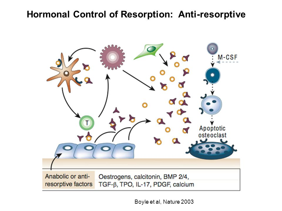 Hormonal Control of Resorption: Anti-resorptive Boyle et al, Nature 2003
