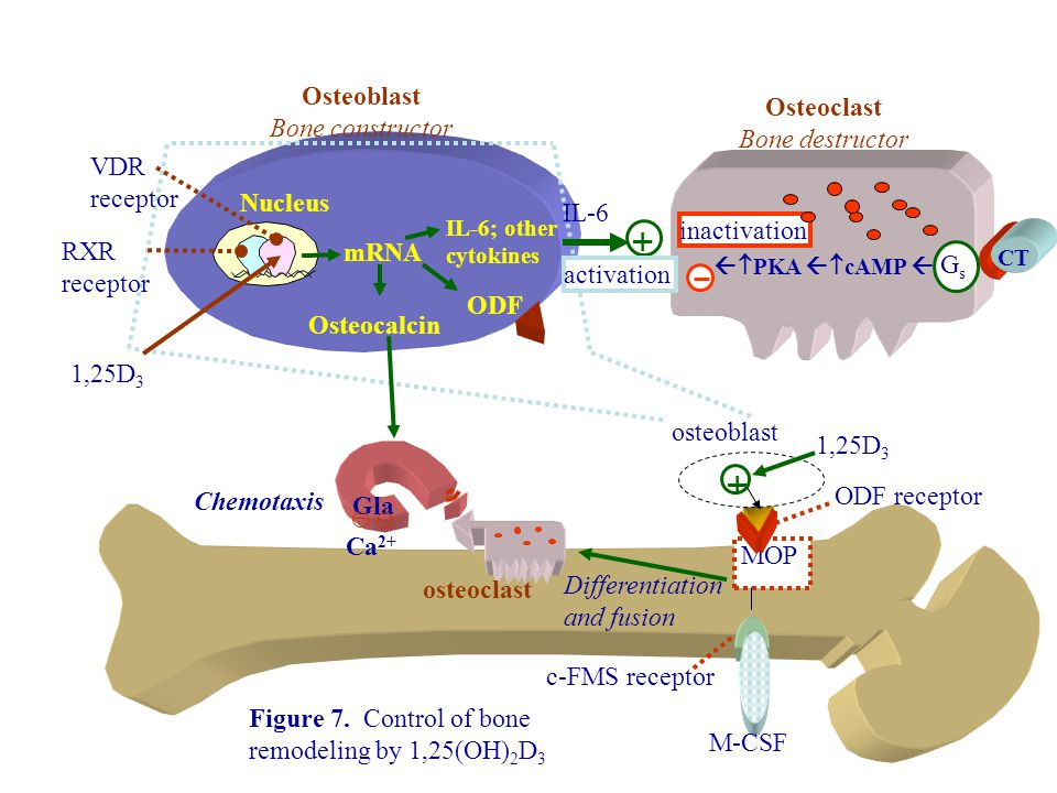 MOP Differentiation and fusion Osteoblast Bone constructor ODF receptor 1,25D 3  osteoblast osteoclast Osteoclast Bone destructor Figure 7.