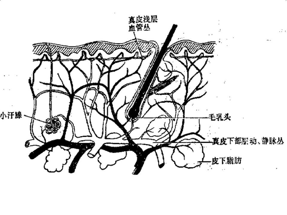 Structure And Function Of Human Skin Lianjun Chen Huashan Hospital
